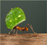 A leafcutter ant under a leaf