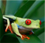 A red-eyed tree frog photo